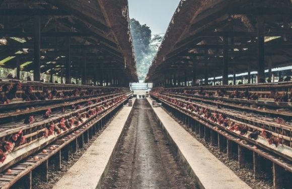 Development in Energy saving capabilities increase demand of LED Lighting in Poultry Farming